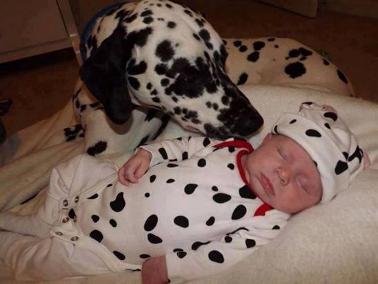 baby-dalmatian